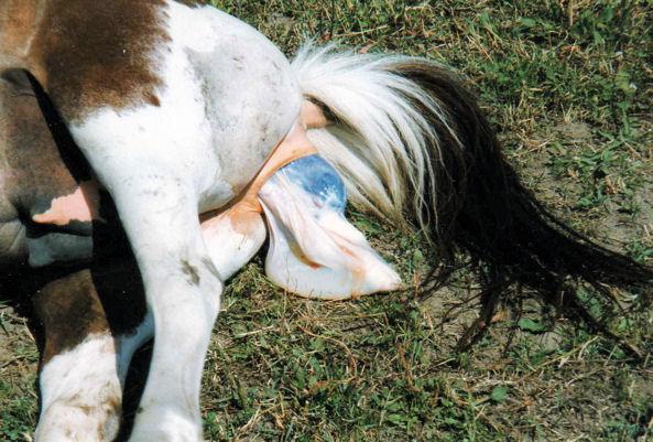 Pferdegeburt